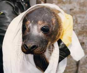 Rescued seal pup (© Orkney Seal Rescue)